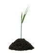Getreideähre wächst aus einem Häufchen Erde