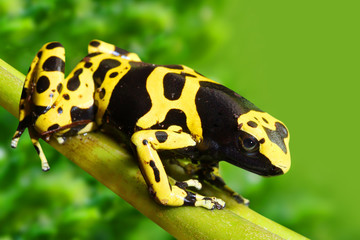 The poison dart frog Dendrobates leucomelas in a rainforest.