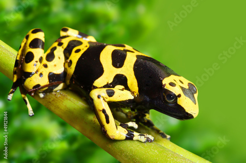 Foto op Canvas Kikker The poison dart frog Dendrobates leucomelas in a rainforest.