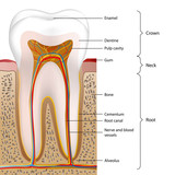 tooth vector illustration english description 1 of 5 poster
