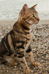 Bengal cat sitting on the sand and looking