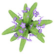 top view of purple streptocarpus flowers in pot isolated