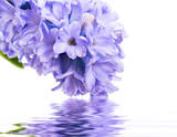 hyacinth flowers - 49126034
