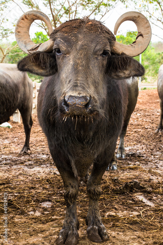 Dairy buffalo in farm looking at camera