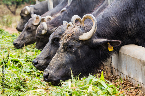 Foto op Aluminium Buffel Dairy buffalo eating grass in farm