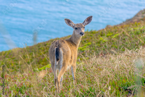 Young californian black-tailed deer looking at the camera