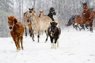 Horses, winter - running herd of horses in the snow