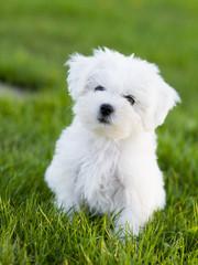 Dog, puppy - cute maltese puppy in the garden