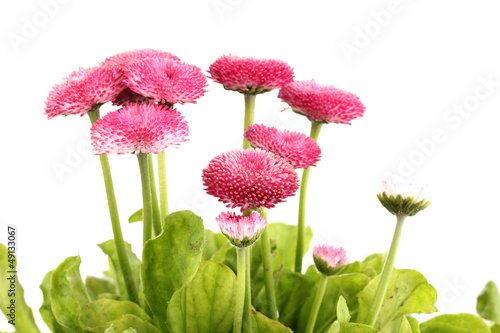 Daisy flowers isolated on white