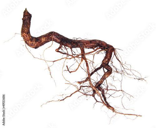 Roots tree isolated