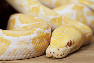 Lavender Tiger Albino Python