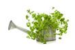 Petersilie in Zink-Gießkanne gepflanzt, isoliert