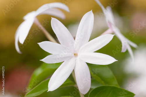 White jasmine flower extreme close up