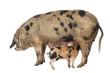 Oxford Sandy and Black piglet, 9 weeks old, suckling sow