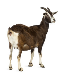 Rear view of a Toggenburg goat looking away