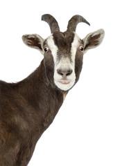 Close-up of a Toggenburg goat looking at camera