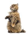 Selkirk Rex, 5 months old, standing on hind legs and reaching