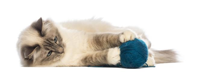Birman lying and playing with ball of wool