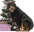 Rottweiler sitting in front of Christmas decorations