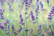 canvas print picture - Lavender