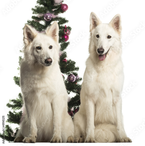 Berger Blanc Suisse sitting in front of Christmas decorations