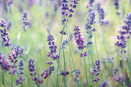 Foto op Plexiglas Lavendel Lavender