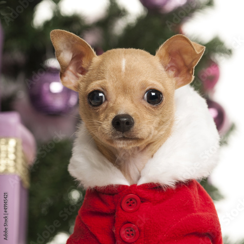 Chihuahua wearing a Christmas suit