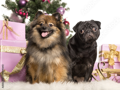 Spitz and Pug sitting in front of Christmas decorations
