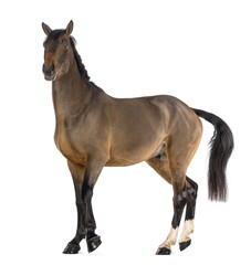 Male Belgian Warmblood, BWP, 3 years old