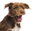 Close-up of a Crossbreed, 5 months old, yawning