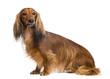 Dachshund, 4 years old, sitting and looking away