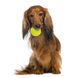 Dachshund, 4 years old, sitting with tennis ball in mouth