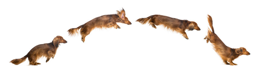 Side view Composition of a Dachshund, 4 years old, jumping