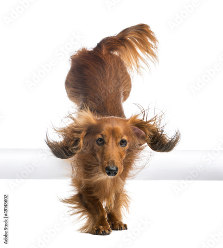 Dachshund, 4 years old, jumping over white tube