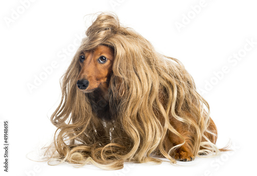 Dachshund, 4 years old, wearing a blond wig