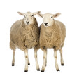 Two Sheep against white background