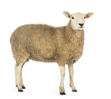 Side view of a Sheep looking away
