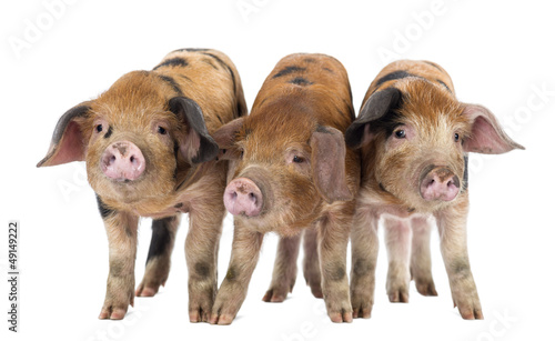 Front view of Three Oxford Sandy and Black piglets, 9 weeks old