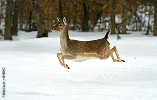 Foto op Aluminium Ree Deer in winter