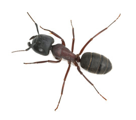 Carpenter ant, Camponotus herculeanus isolated on white