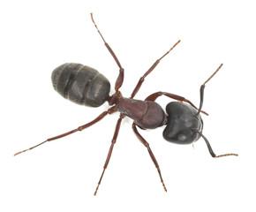 Carpenter ant, Camponotus herculeanus isolated on white