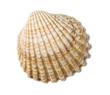 Herzmuschel (Cardiidae) - 49160063