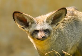The portrait of Bat-eared fox