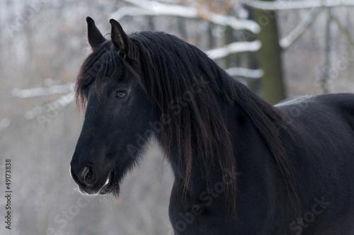 Koń fryzyjski III