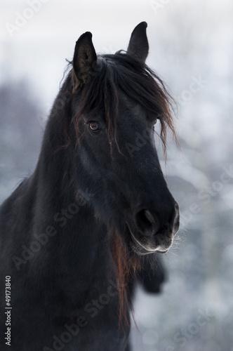 Koń fryzyjski II