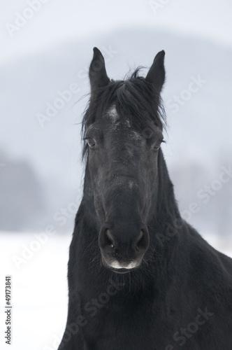 Koń fryzyjski I