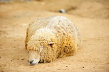animal-sheep-001