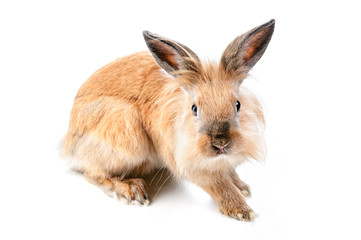 Fluffy rabbit on white background