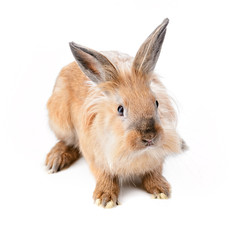 Beige rabbit, isolated
