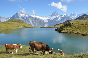 Cows in an Alpine meadow. Jungfrau region, Switzerland